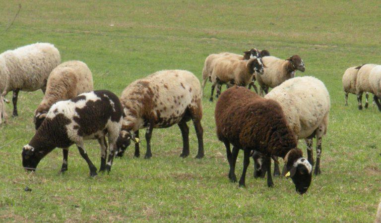 Video d'un ramat d'ovelles ripolleses
