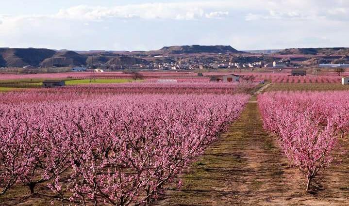 L'espectacular paisatge que ens ofereix la floració dels arbres fruiters al Baix Segre
