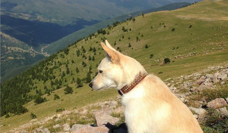 La fidelitat d'un gos pastor pel seu ramat. La història d'en Piqué.