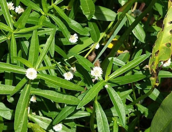 Troben a La Roca del Vallès una planta exòtica invasora, molt perillosa pel medi ambient.
