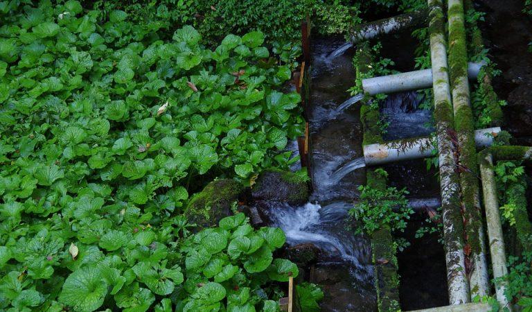 Voleu saber on es cultiva el Wasabi català?