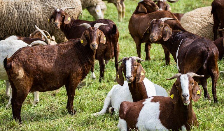 La Vall de Cardós busca gent que vulgui portar un ramat de cabres i una formatgeria. T'animes?