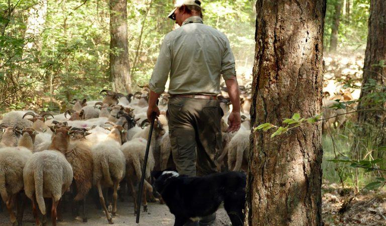 Malestar entre els pastors del Montseny pels atacs de gossos als ramats d'ovelles