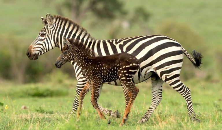 Neix una zebra amb pigues en lloc de ratlles.