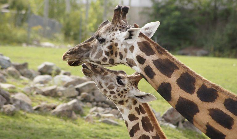 El Zoo de Barcelona té un nou inquilí, neix la girafaThembi.