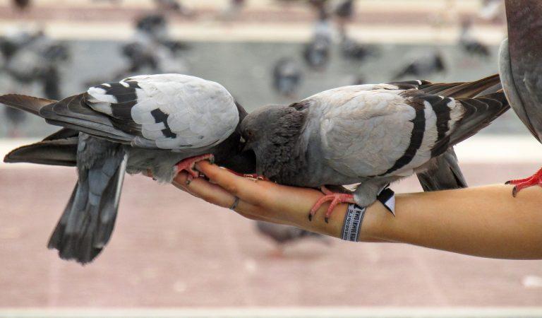Desenes de coloms morts a l'Eixample de Barcelona