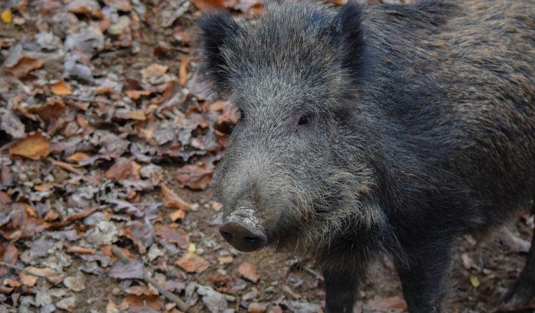 Els porcs senglars aprofiten els carrers buits de Barcelona i els ànecs els de Banyoles.
