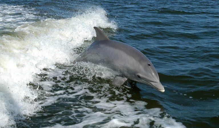 El confinament fa que els dofins s'apropin a les platges catalanes.