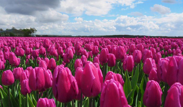 Un petit poble del Berguedà es converteix en l'Holanda catalana, gràcies a les tulipes.
