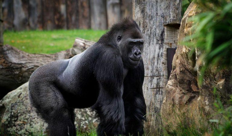 Condemnat a11anys de presó per la mort del Goril·laRafiki