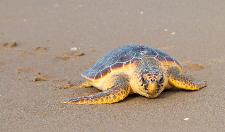 Troben per primer cop un niu de Tortuga babaua en una platja de Barcelona