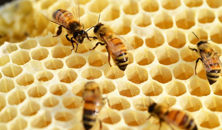 El verí de les abelles capaç de destruir les cèl·lules més agressives del càncer de mama