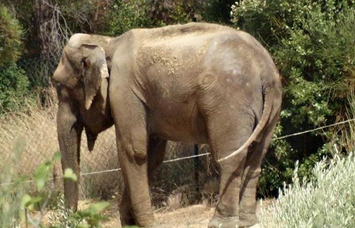 La història deDumbauna elefanta que viu en el jardí d'una casa de Caldes de Montbui