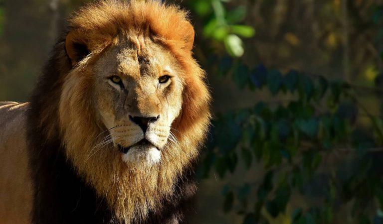 Els lleons del Zoo de Barcelona passen el Coronavirus amb símptomes lleus