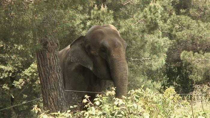 Localitzen a França l'elefantaDumbaen molt mal estat de salut
