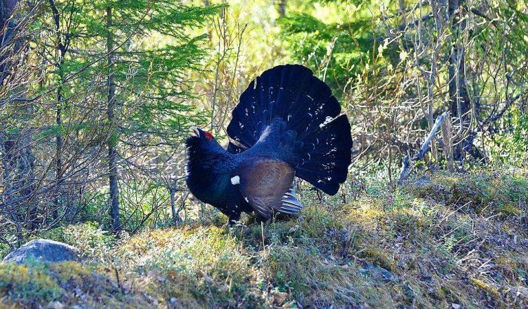 El gall fer en perill d'extinció, queden menys de 400 mascles a Catalunya