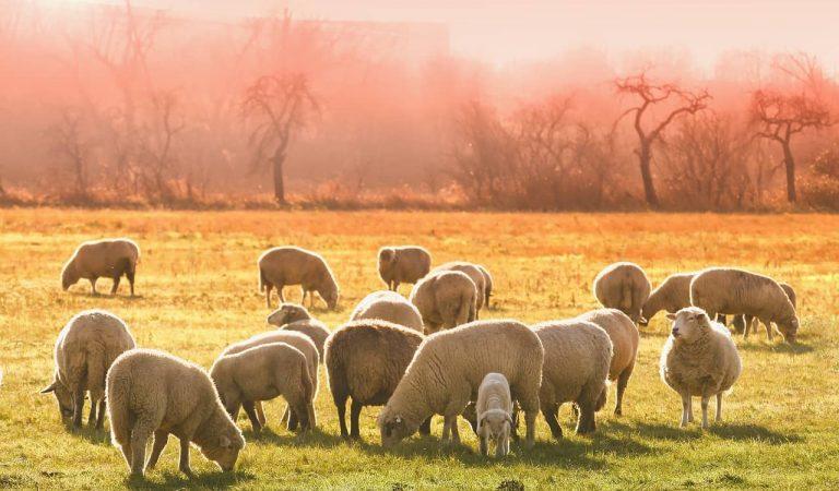 Condemnats a un any de presó dos ramaders que van deixar morir de gana part d'un ramat d'ovelles a Lliçà d'Amunt