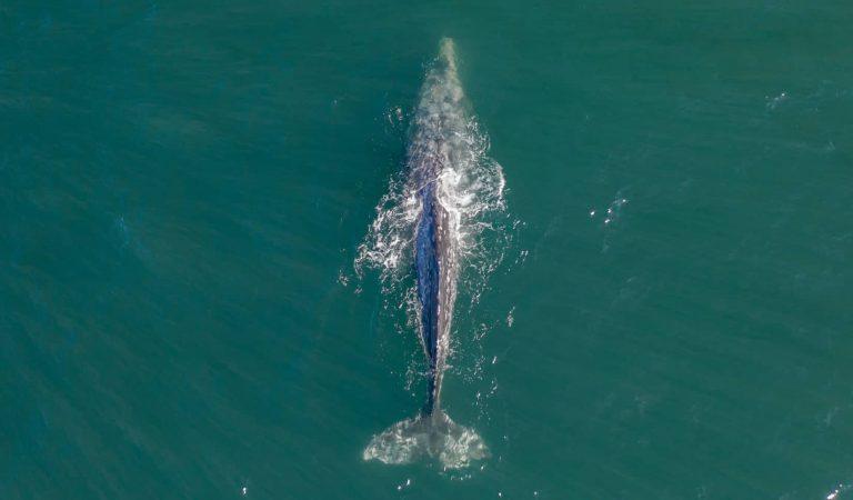 Es tem per la vida de la balenaWallyperduda en el Mediterrani i que aquests dies visita Catalunya