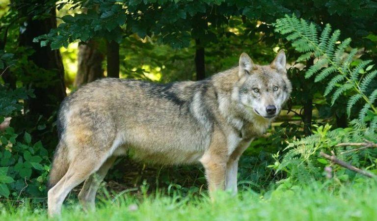 Graven un llop passejant-se pels voltants del refugi Coma de Vaca al Ripollès