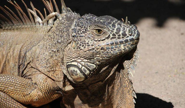 Troben una iguana de metro i mig al terrat d'un edifici de Manresa