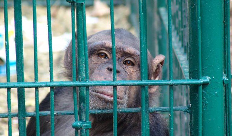 La Fundació Mona de Riudellots de la Selva rescata un ximpanzé que feia cinc anys vivia aïllat en una gàbia.
